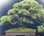 Bonsai Tree's Avatar